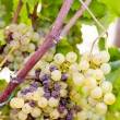 White grape in Sauternes Region, Aquitaine, France — Stock Photo