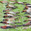 Stock Photo: Excludes of caught pheasants