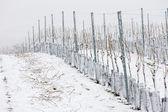 Winter vineyards — Stock Photo