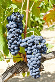 Blue grapes, La Rioja, Spain — Stock Photo