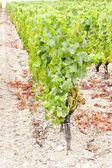 White grape in vineyard, Sauternes Region, Aquitaine, France — Stock Photo