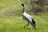 Crane on green meadow — Stock Photo