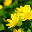 Macro image of fresh yellow flowers — Stock Photo