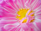 Aster close-up — Stock Photo