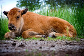 Baby Buffalo Laying — Stock Photo