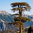 Stock Photo: Mountain pines