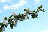 Apple tree branch — Stock Photo