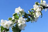 A árvore de maçã — Foto Stock