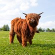 Stock Photo: Long haired cow on meadow
