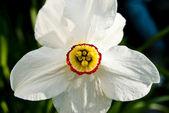 Fiore narciso — Foto Stock