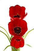Three Tulips. — Stock Photo