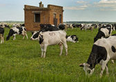 Cows on pasture. — Stock Photo