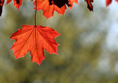 Backlit Copper Maple Leaf — Stock Photo