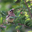 Постер, плакат: Eating Cedar Waxwing