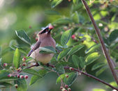 Eating Cedar Waxwing — Stock Photo