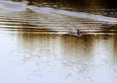 A kayakers skimming across the river. — Stock Photo