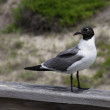 Sitting Laughing Gull — Stock Photo
