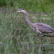 Stalking Great Blue Heron — Stock Photo