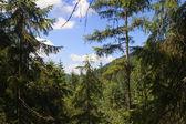 Tallar skogen scen — Stockfoto