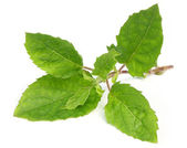 Medicinal tulsi leaves — Stock Photo