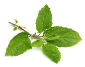 Medicinal holy basil or tulsi leaves — Stockfoto