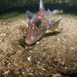 Spotted Rat Fish — Photo