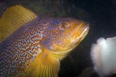 Greenling fuco — Foto Stock