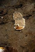 Brown Striped Nudibranch — Stock Photo