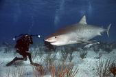 Tiger Shark — Stock Photo
