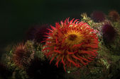 Sea Anemone — Stock Photo