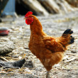 Golden brown hen — Stockfoto