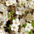 Blooming plum flowers background — Stockfoto