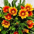 Gazania blooming flowers — Stockfoto