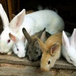Bunny Rabbits family - Foto Stock