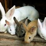 Bunny Rabbits family — Stock Photo
