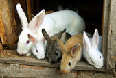 Bunny Rabbits family — Stock Photo