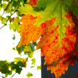 Autumn grape leaf — Stockfoto