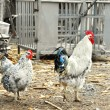 Hens in rustic farm yard - Stock Photo