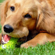 Golden retriever with toy — Stock fotografie