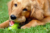 Golden retriever with toy — Stok fotoğraf