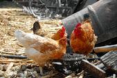 Hens in rustic farm yard — Stock Photo