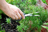Rosemary seasoning garden — Stock Photo