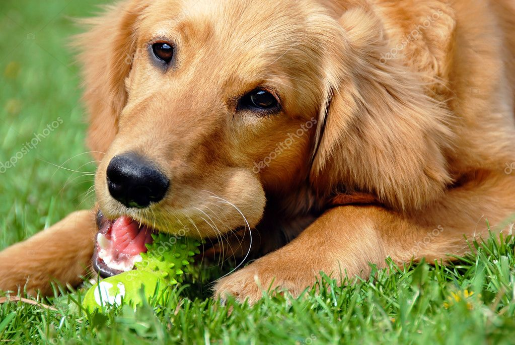Golden retriever young dog portrait with toy bone — Stock Photo #5766071