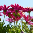 Pink daisy flowers — Photo