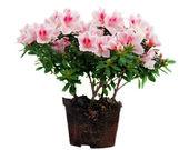 Pink Azalea flowers flowerpot — Stock Photo