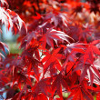 Japanese red acer maple leaves — Stock Photo