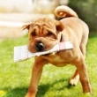 Stockfoto: Shar Pei dog with newspapers