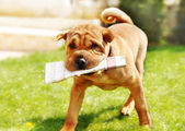 Shar Pei dog with newspapers — Stockfoto