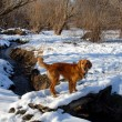 Dog on snowy bridge - Stockfoto