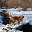 Dog on snowy bridge — Stock Photo